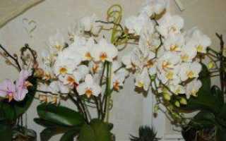 Как добиться цветения орхидеи в домашних условиях