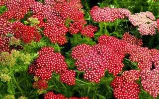 Выращивание тысячелистника в саду: посадка и уход