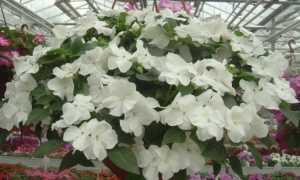 Декоративный ампельный бальзамин: описание, фото, история появления и выращивание