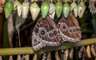 Как в домашних условиях вырастить бабочку