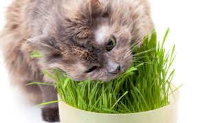 Как вырастить овес для кота дома