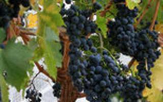 Виноград культурный 'Миена' — описание сорта, характеристики