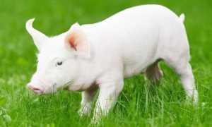 Белая крупная свинья: описание породы