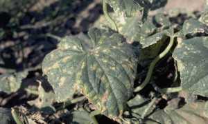 Бактериоз огурцов: угловатая пятнистость листьев и как с ней бороться, профилактика и защита