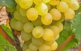 Виноград «Триумф»: описание и особенности выращивания