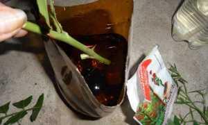 Как вырастить черенок розы в бутылке