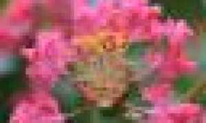 Как вырастить хамедорею из семян: пошаговая инструкция