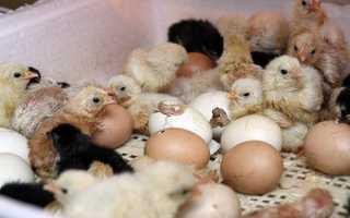 Инкубация яиц в домашних условиях: что это за процесс, как сохранить оплодотворенный материал, срок вылупления цыплят по дням, таблицы режимов температуры