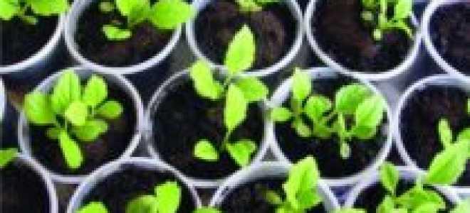 Астра помпонная – выращивание из семян