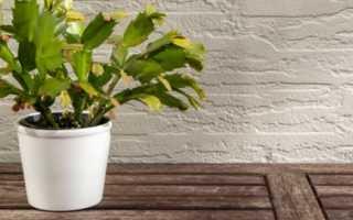 Декабрист — как добиться обильного цветения? Уход в домашних условиях. Фото