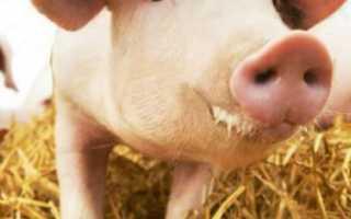Как вырастить свиней большими