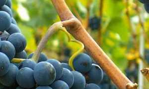 Виноград культурный 'Пино черный крупногроздевой' (Виноград культурный 'Пино фран крупногроздный')