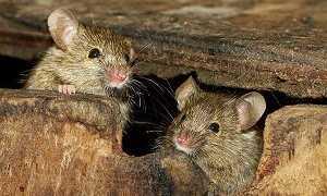 Как бороться с полевыми мышами?