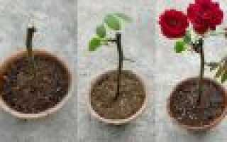 Как вырастить красивые розы без затрат