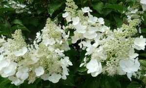 Гортензия Вайт Леди: описание сорта, посадка и уход, размножение, отзывы и фото