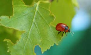 Жуки-листоеды — всё о насекомых-вредителях