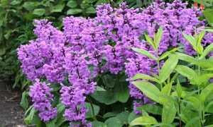 Буквица многолетняя: семенное размножение и методика выращивания в саду