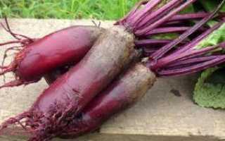 Выращивание семян свёклы от выбора маточника до уборки урожая