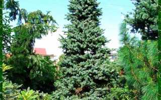 Ель сербская: фото, условия выращивания, уход и размножение