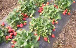 Как вырастить хорошую ягоду клубнику
