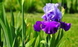 Как размножают ирисы, семенами и вегетативно
