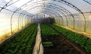 Как правильно выращивать кинзу в теплице зимой на продажу