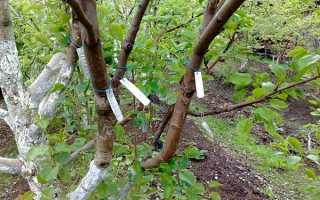 Как прививать плодовые деревья летом?