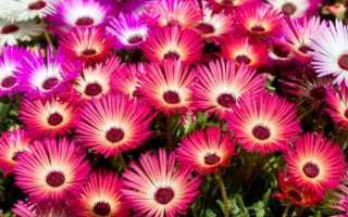 Доротеантус (мезембриантемум): описание, фото цветка, выращивание, посадка, уход в открытом грунте