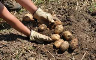 Как и когда копать картошку правильно