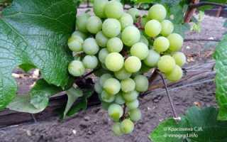 Балтийская авантюра – сорт северного винограда Супага