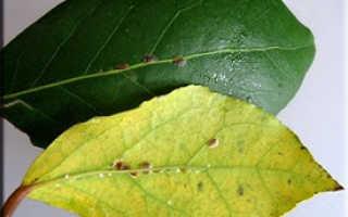 Вредитель щитовка: описание видов и методы борьбы с насекомым