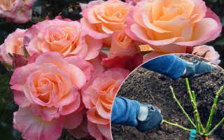 Как посадить розы правильно? Посадка роз весной, летом, осенью