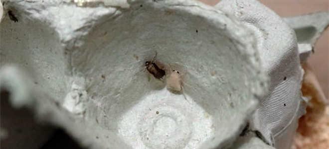 Белые тараканы в квартире (альбиносы): бывают ли такие и почему (смотрите фото)