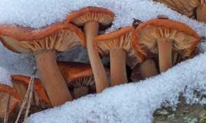 Зимние опята (Фламмулина бархатистоножковая, латин. Flammulina velutipes): фото, описание, как выглядят, когда собирать и грибы от ложных двойников