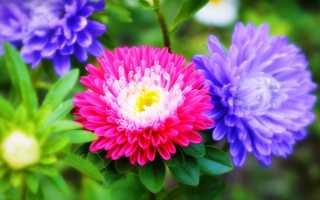 Выращивание астр. Как добиться непрерывного цветения на протяжении летнего сезона