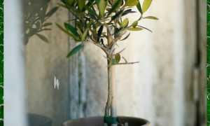 Как сажают оливковые рощи