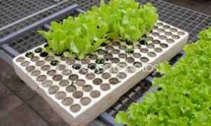 Выращивание салата через рассаду: способы посадки и тонкости ухода, видео