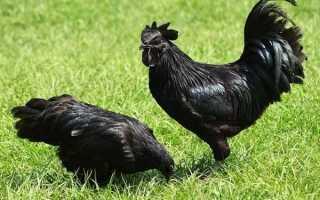 Аям цемани: черная порода кур с такими же яйцами