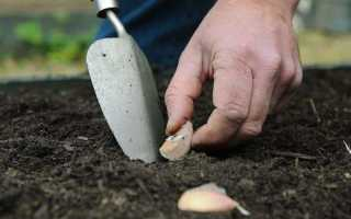 Защищаем будущий урожай от вредителей и болезней — правильная обработка чеснока перед посадкой