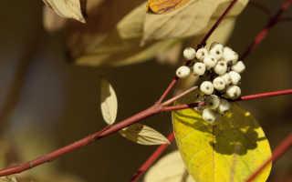 Дерен белый сибирика посадка и уход в открытом грунте