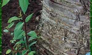 Как избавиться от поросли вишни и сливы: на участке, в саду навсегда, корней