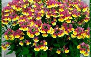 Выращивание рассады немезии в домашних условиях: посадка семян, уход, высадка