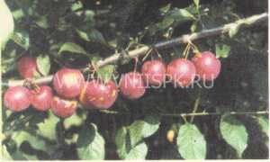 Алыча гибридная: фото, сорта (название + описание)