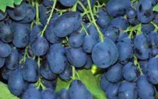 Как выращивать виноград Ришелье