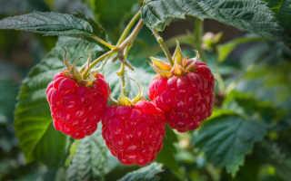 В каком месяце лучше всего сажать малину, чтобы собрать богатый урожай?
