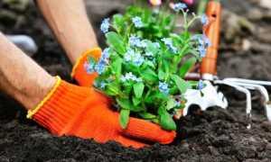 Как вырастить незабудка из семян в домашних условиях на рассаду
