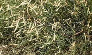 Бутелуа: выращивание, свойства, применение растения