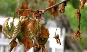 Болезнь вишни монилиоз – как лечить