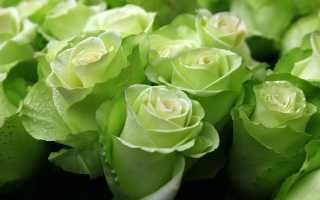 Бывают ли зеленый розы: чайно-гибридные сорта с названиями, описание
