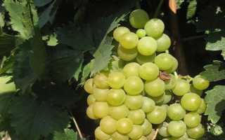 Виноград Шасла белая (описание, отзывы, фото)